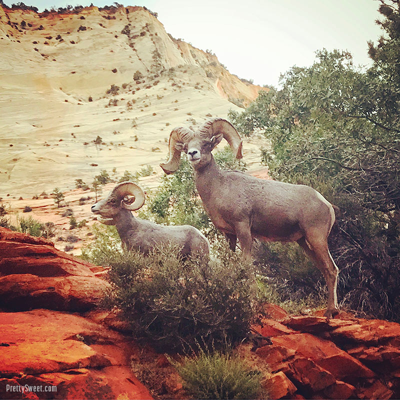 Big Horn Sheep in Zion National Park