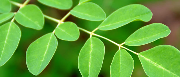 moringa leaves for health